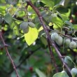 Stock Video: Immature plums fruits on plum-tree