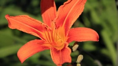 Orange colour big lily flower — Stock Video