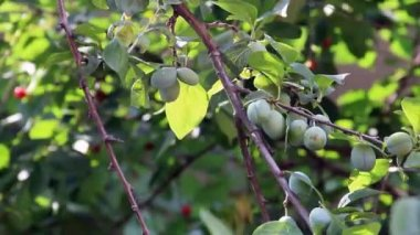 Immature plums fruits on plum-tree — Stock Video