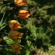 Stock Video: Tulips on the flowerbed