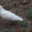 Stock Video: White pigeon walking on ground
