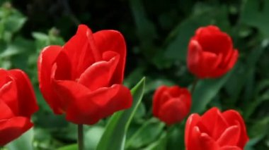 Red tulips on spring flowerbed — Stock Video