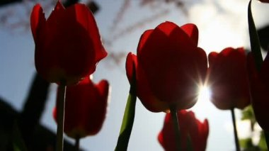 Sunbeams through red tulip flowers buds — Stock Video