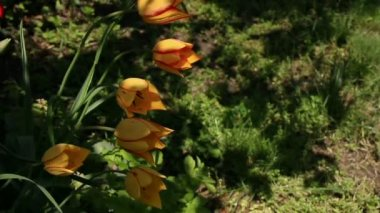 Tulips on the flowerbed — Stock Video
