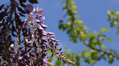Lianas violet flowers on sunlit — Stock Video