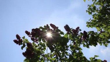 Lilac swinging — Stock Video