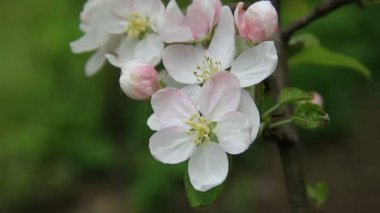 Apple-tree blossom — Stock Video