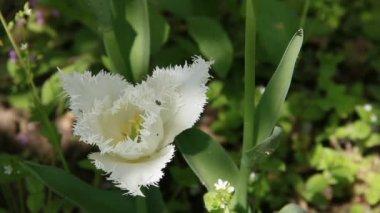White tulip flower — Stock Video