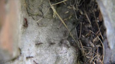 Red ants on stone and dry grass — Stock Video