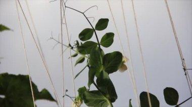 Green growth peas — Stock Video