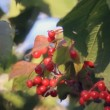 Viburnum branch with red fruits — Stock Video