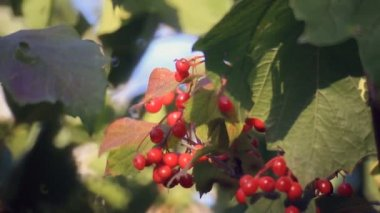 Viburnum branch with red fruits — Vidéo