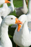 Gooses — Stock Photo