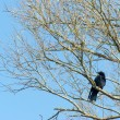 Crow in the tree — Stock Photo