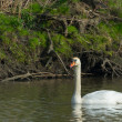 White Mute swan - Stock Photo