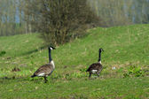 Canada gooses in Dutch nature — Stock Photo