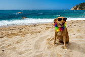 Relaxing dog at the beach — Stock Photo
