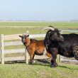 Couple goats in landscape — Lizenzfreies Foto