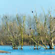 Colony Great Cormorants in tree — Stock Photo