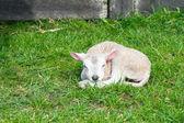 Bara född lamm — Stockfoto