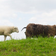 Sheep on the grass dike — Stock Photo