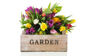 Garden crate full tulips — Stock Photo