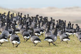 Swarm Brent gooses — Stock Photo