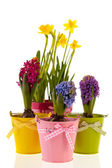 Colorful Hyacinths and daffodils — Stock Photo