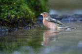 Common Chaffinch — Stock Photo