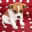 Red spotted pet bed with little puppy - Stock Photo