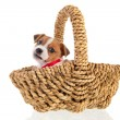 Six weeks old Jack Russel in basket — Stock Photo