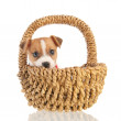 Jack russel puppy in basket - Stock Photo