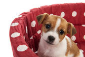 Red spotted pet bed with little puppy — Stock Photo