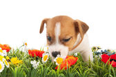 Puppy dog sniffing at flowers — Stock Photo