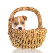 Jack russel puppy in basket — Stock Photo