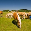 Young horses in Dutch landscape — Stock Photo