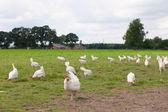 Biological chicken — Stock Photo
