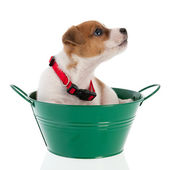 Six weeks old Jack Russel in green bucket — ストック写真