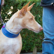 Spanish Podenco with owner — Stock Photo