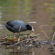 Eurasian coot on nest — Stock Photo