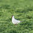 Stock Photo: Black-headed segull walking in grass