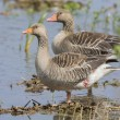 Couple Greylag gooses — Stock Photo #28715613