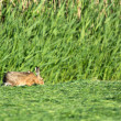 Stock Photo: Hare eating mowed grass in meadows