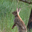Stock Photo: Standing hare in dunes