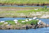 Breeding black-headed sea gulls — Stock Photo