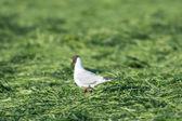 Black-headed sea gull walking in grass — Stock Photo