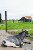 Goat on Dutch farm — Stock Photo