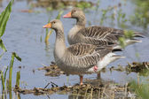 Couple Greylag gooses — Stock Photo