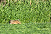Hare eating mowed grass in meadows — Stock Photo