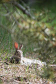 Resting hare in dunes — Stock Photo